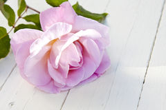 Natural pink flower Royalty Free Stock Photos