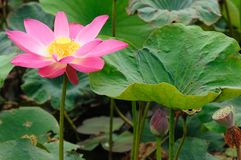 Natural pink lotus floral Royalty Free Stock Photos