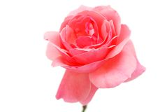 A natural pink rose Stock Photography