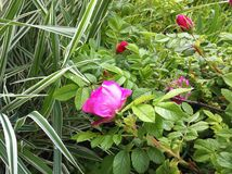 natural pink rose growing in green garden Stock Images