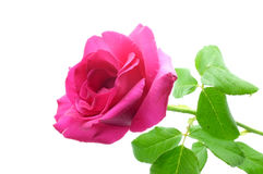 Natural pink rose Stock Photos