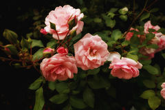 Natural pink roses on bush. Flowers background, art effect Royalty Free Stock Photos