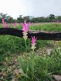 Natural pink Siam Tulips (Curcuma alismatifolia) Royalty Free Stock Image