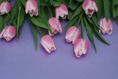 Natural Pink Tulips flower Bouquet on Purple Background. Copy space. Spring time. background royalty free stock photos