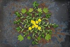 Natural plant mandala flat lay arrangement made of flowers and l. Eaves. Bohemian style mandala, zen wall decor, home art, arabesque, yoga and meditation Royalty Free Stock Image