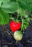 Natural plant of strawberry Royalty Free Stock Photo