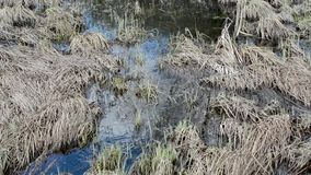 Natural pond with clean water and grass on the bottom and on the banks. Fresh and last year`s grass in the banks at the bottom of the spring pond stock video