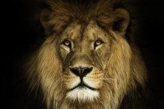 Natural portrait lion. Natural portrait, poster lion with black background. Poster african wildnes, majestic lion stock images