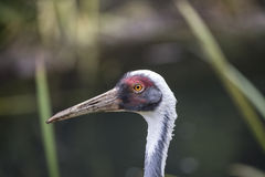 Natural portrait of white-naped crane bird from China. Beautiful portrait of white-naped crane bird from China royalty free stock photos