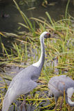 Natural portrait of white-naped crane bird from China. Beautiful portrait of white-naped crane bird from China royalty free stock image