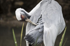 Natural portrait of white-naped crane bird from China. Beautiful portrait of white-naped crane bird from China stock photos
