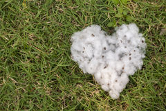 natural product, heart shape raw cotton flowers on green yard ou Stock Images