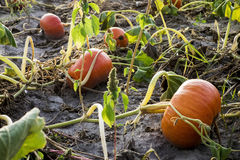Natural pumpkin field Royalty Free Stock Photography