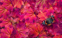 Natural purple background. fallen maple leaves texture background. admiral butterfly. butterfly on fallen autumn leaves. top view.