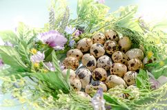 Natural quail eggs in floral nest in sunny light on blue background. Happy Easter, spring, healthy life concept stock image