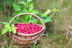 Natural raspberries Royalty Free Stock Photography