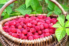 Natural raspberries Royalty Free Stock Photos