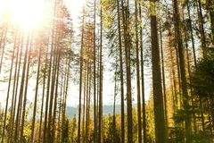 Natural ray of the sun  into forest. Natural ray of the sun pierces into a dense green pine forest landscape Royalty Free Stock Photo