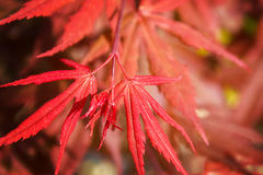 Natural red maple leaf background. With shallow focus Stock Images