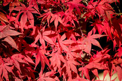 Natural red maple leaf background. With shallow focus Stock Photo