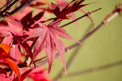 Natural red maple leaf background. With shallow focus Royalty Free Stock Photography