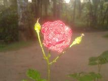Natural red rose flower in Sri Lanka. Stock Images