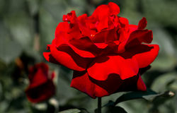 Natural red rose in garden royalty free stock photos