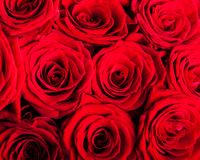 Natural red roses background Stock Image