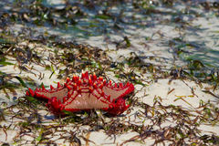 Natural red sea star on the beach Stock Image