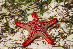 Natural red sea star Stock Images