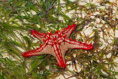 Natural red seastar laying on seaweed Royalty Free Stock Photography