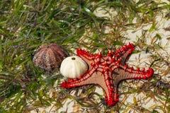 Natural red seastar and shells Royalty Free Stock Photos