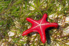 Natural red seastar turned upsidedown Stock Images