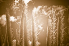 Natural reed abstract background Stock Photography