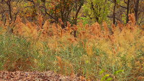 Natural reed in the wind. View of colorful natural reed swaying in the wind stock video footage