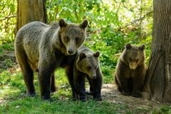 Bears in a forest from Zarnesti natural reserve, near Brasov, Transylvania, Romania. Natural reserve from Zarnesti is a place where the bears are cared to have a Royalty Free Stock Photography