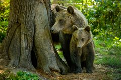 Bears in a forest from Zarnesti natural reserve, near Brasov, Transylvania, Romania. Natural reserve from Zarnesti is a place where the bears are cared to have a Royalty Free Stock Images