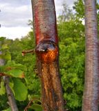 Natural resin bulb Stock Photography