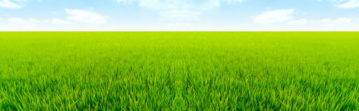 Natural rice field long distance view Royalty Free Stock Image