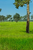 Natural rice field. North-east of Thailand Royalty Free Stock Images