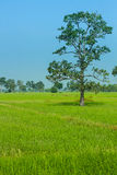 Natural rice field. North-east of Thailand Royalty Free Stock Photos