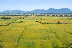 Natural rice field. North-east of Thailand Royalty Free Stock Photography