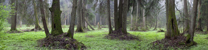Natural riparian stand of Bialowieza Forest Stock Photos