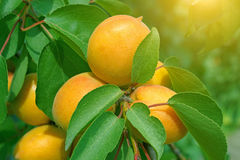 Natural ripe apricot fruits on tree Royalty Free Stock Image