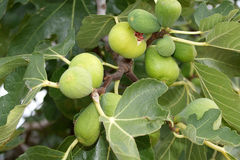 Natural ripe fruit on the fig tree Royalty Free Stock Photo