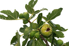 Natural ripe fruit on the fig tree Stock Photos