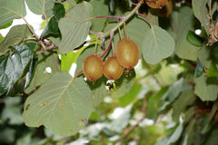 Natural ripe kiwi fruit on the tree Stock Photography