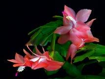 Natural rojo del cactus de la Navidad del Brasil Foto de archivo libre de regalías