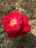 Natural rose royalty free stock images