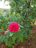 Natural Rose flower from India. The flower which captured from a home garden in Andhra Pradesh from India royalty free stock photography